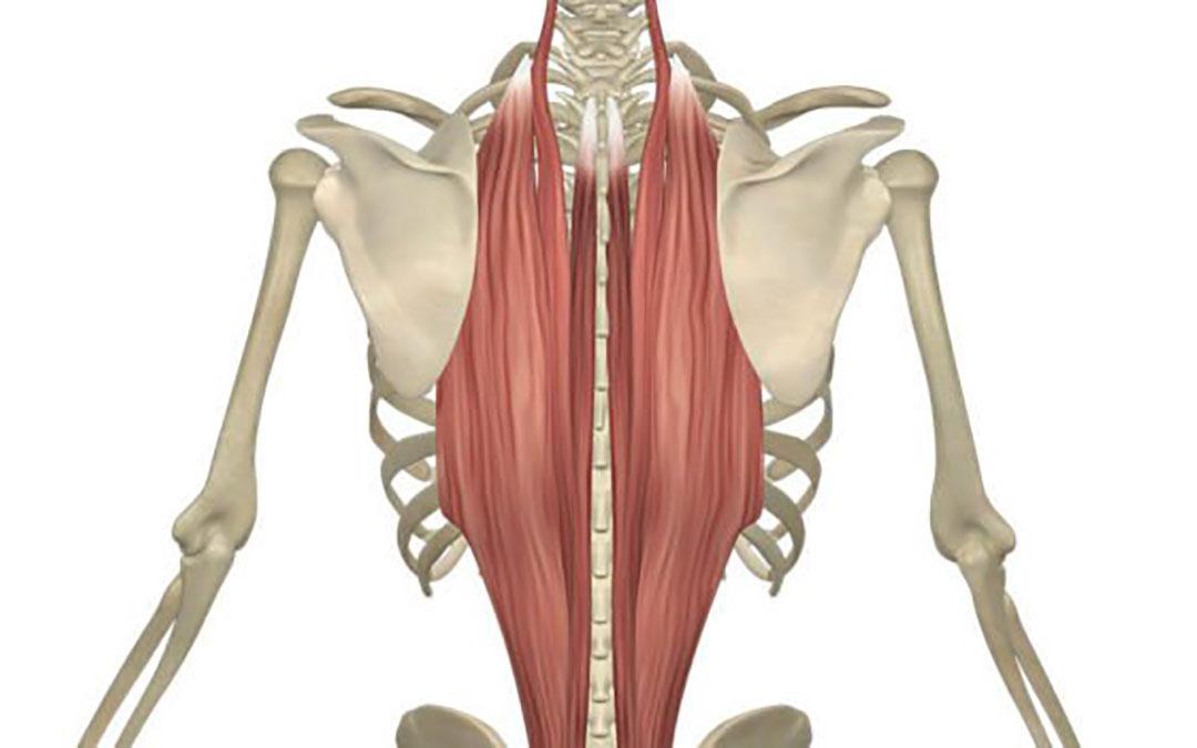 Muscolo Lunghissimo: Anatomia, Dolore, Rimedi Comuni ed Esercizi