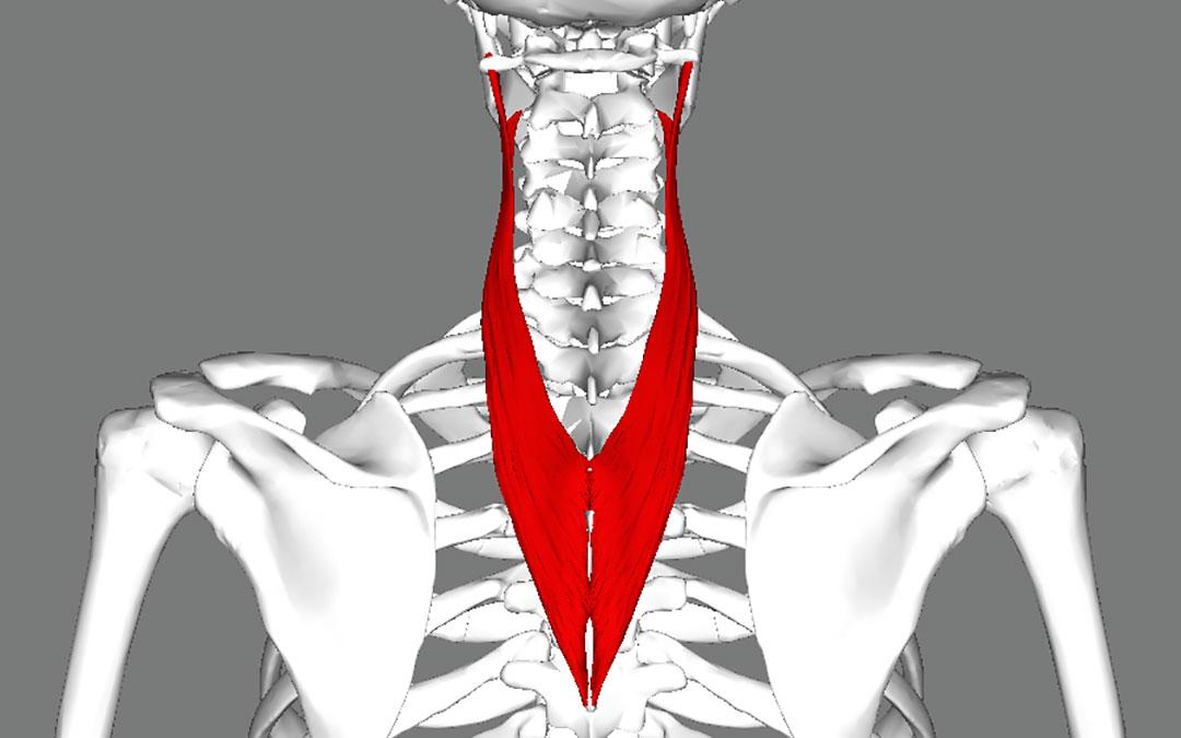 Muscoli splenio del collo e splenio del capo: anatomia, dolore e rimedi